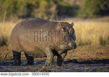 Horizontal Portrait Of An Adult Hippo Standing In Mud In Early Morning Sunlight In Chobe River In Bo