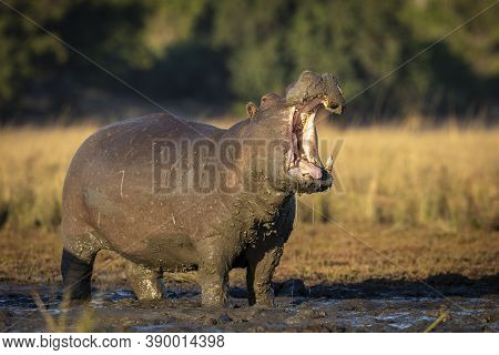 Adult Hippo Covered And Standing In Mud Yawning Showing Teeth In Morning Sunlight In Chobe River In