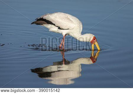 Adult Yellow Billed Stork Wading With Its Beak In The Water In Moremi Okavango Delta In Botswana