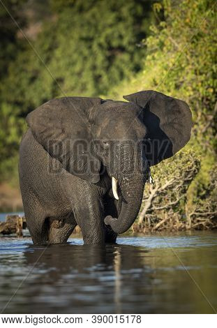 Vertical Portrait Of A Young Elephant Bull With Broken Tusk Standing In Shallow Water In Golden Sunl