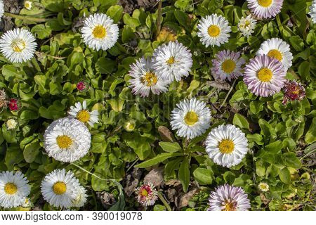 White Daisies. Blooming White Daisies In The Garden