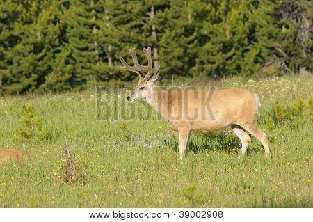 Male Mule deer (Odocoilus hemionus) in Yellowstone national park