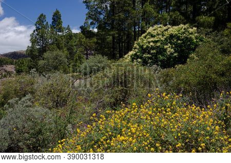 Shrubby Ground And Forest Of Canary Island Pine Pinus Canariensis.