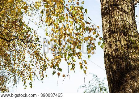 Twigs Of Old Birch Tree With Yellow Leaves On Sunny Autumn Day