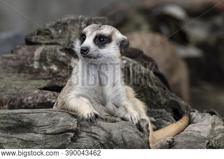 Close Up Cute Relax Meerkat (suricatta) That Small Animal Lying Or Sit On Log Timber Wood Over Blur
