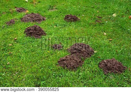 Lawn Damaged By A Mole. Soil Mounds Indicate The Presence Of The Mammal's Underground Passages.