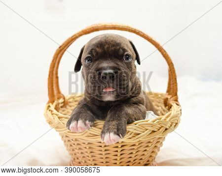 Staffordshire Terrier One-month Puppy Dog. Young Dog Sitting In Basket. Puppy Dog Looking At Camera
