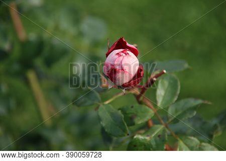 Red Rose Type Maxim In The Rosarium In Boskoop In The Netherlands