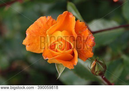 Orange Rose Type Westzeit In The Rosarium In Boskoop In The Netherlands