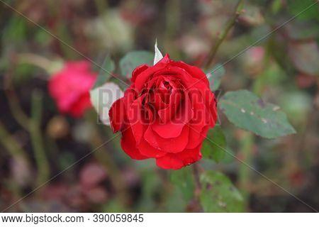 Red Rose Type Pride Of England In The Rosarium In Boskoop In The Netherlands