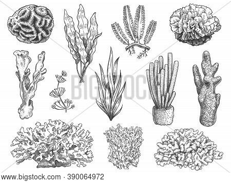 Sketch Seaweed. Ocean Reef Coral And Water Plant, Algae. Underwater Life Weeds. Marine Botanical, Co