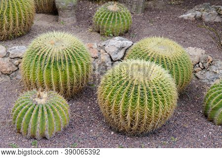 Tropical Round Green Cacti Growing On The Ground