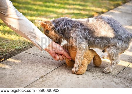 Yorkshire Terrier Waiting For A Toy . Owner`s Hand Giving Dog A Toy. Small Dog In The Garden