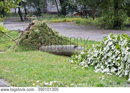 Storm Damage. Fallen Tree After A Storm. Tornado Storm Damage Causes A Large Mature Tree To Be Broke