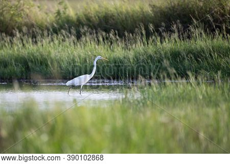 Adult Great Egret, Common Egret, Large Egret, Great White Or Great White Heron, Uprisen Angle View,