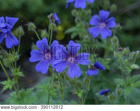 Pretty Blue Cranesbill Geranium Flowers And Buds In A Summer Garden