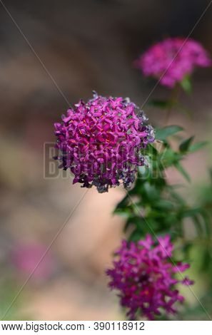 Pink And Purple Flowers Of The Deep Dream Cultivar Of The Rose Banjine Rice Flower, Pimelea Rosea, F