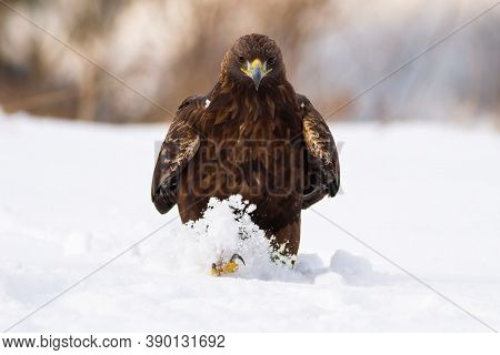 Ominous Golden Eagle Walking On Meadow In Winter Nature.