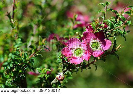 Pink Red Flowers Of The Australian Native Leptospermum Tea Tree Riot Cultivar, Family Myrtaceae.