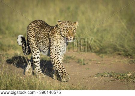 Horizontal Portrait Of An Adult Leopard Walking In Green Bush At Sunrise In Masai Mara In Kenya