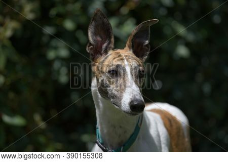 Elegantly Poised, This White And Brindle Pet Greyhound Dog Is Alert With Her Ears Pricked, Looking A