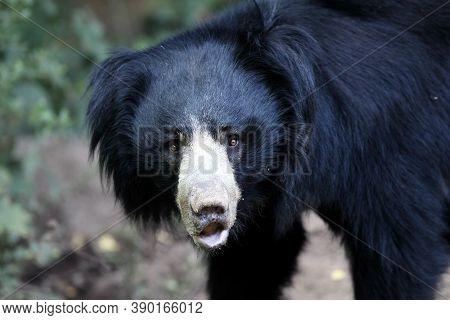 The Sloth Bear (melursus Ursinus), Also Known As The Labiated Bear, Portrait