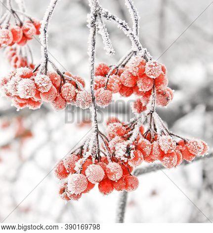 Winter Frozen Viburnum Under Snow. Viburnum In The Snow. First Snow. Beautiful Winter