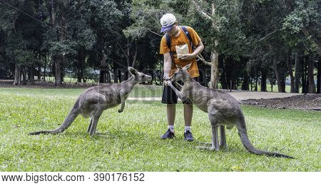Brisbane, Australia - March 23rd, 2020: A Tourist Hand Feeding Two Kangaroos In A Wildlife Park Near