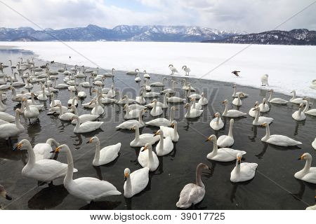 Swan lake in Hokkaido, Japan poster