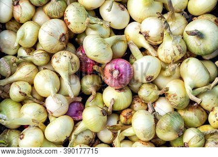 Freshly Dug Organic Onions. New Crop Onions As Background. Fresh Shallots Close Up