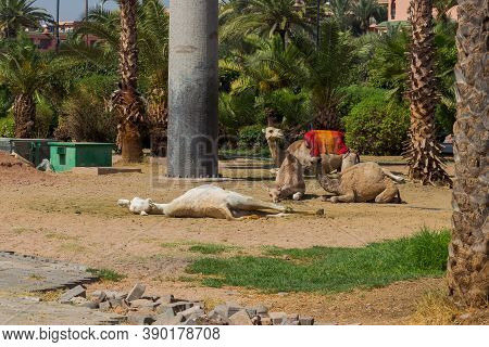 Camels Rest While Waiting For Tourists In Marrakech, Morocco. The Dromedary, Also Called The Somali