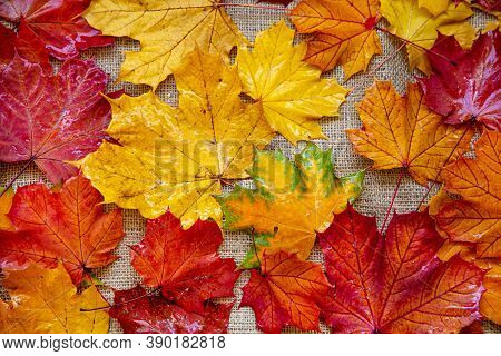 Autumn Leaves Background, Top View. Wet Mapple Leaves, Yellow And Red.