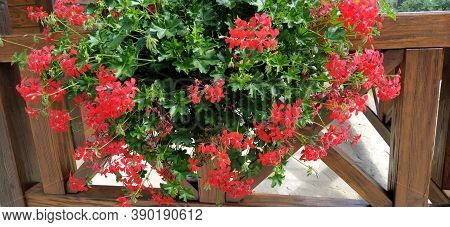 Ivy Red Geraniums On Ethno Fence. Pelargonium Peltatum Is A Species Of Pelargonium Known By The Comm