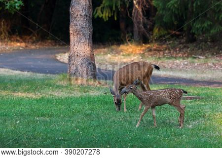 A Mother Deer Eats Grass While Her New Baby Who Still Has White Spots Walks Next To Her At Joseph St