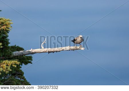 A Grey And Black Clark's Nut Cracker Bird Lands On A Dead Tree Branch As It Begs Tourists For Food A