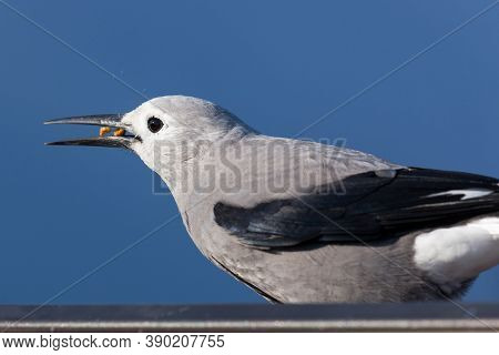 A Grey And Black Clark's Nut Cracker Bird Stands Behind A Metal Sign And Crunches A Snack With Its B