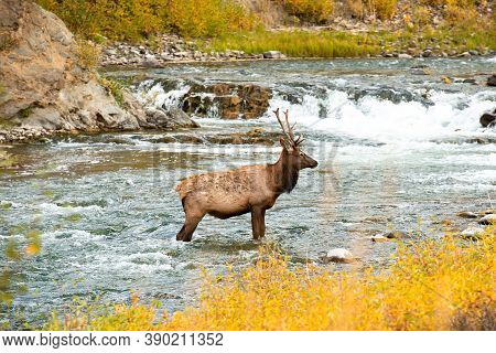 Elk Wading In Water In Yellowstone National Park Wyoming, Wildlife Nature Photography, Bull During E