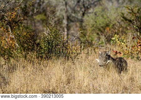 Warthog Hiding In Long Grass In A South African Game Reserve