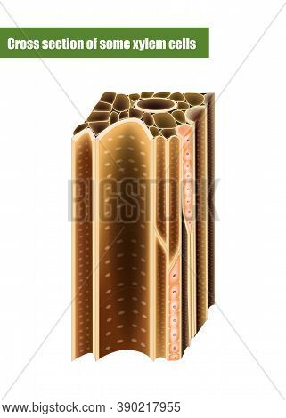 Cross Section Of Some Xylem Cells. Xylem Is A Type Of Transport Tissue In Vascular Plants.