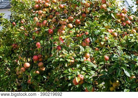 An Apple Tree With Plenty Of Ripe Fruits On A Sunny Day In Autumn