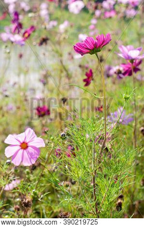 A Flowerbed In A Garden In Autumn With Pink Flowering Cosmos Bipinnatus