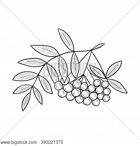 Red Rowan Illustration, Isolated On White. Rowanberry Hand Drawn Vector. Mountain Ash Berry, Leaves