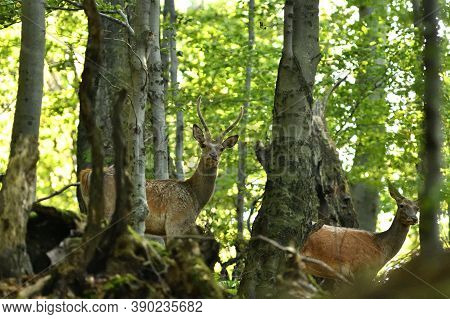 A Female Deer Walks In A Forest Among The Trees In A Rut