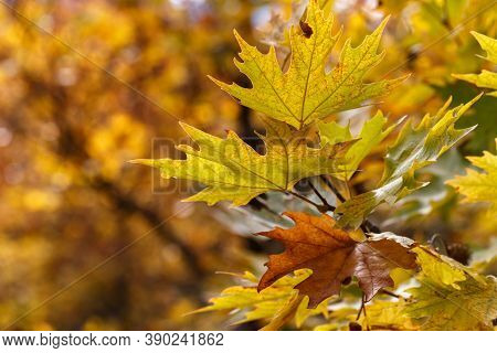 Close Up Of Yellow Mapple Leaves, Early Autumn , Fall Background
