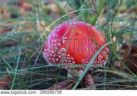Red Poisonous Mushroom Amanita Muscaria Known As The Fly Agaric Or Fly Amanita In Green Grass.