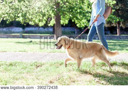 Dog Walking On Leash With Woman In Park. Girl And Labrador Retriever Together. Lifestyle Moment. Out