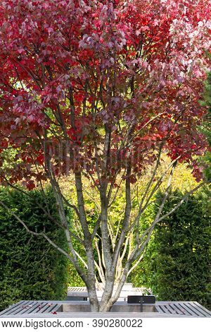 Red Maple, Acer Rubrum, Autumn View. Leaves Close-up. Autumn Background. Landscape Composition.