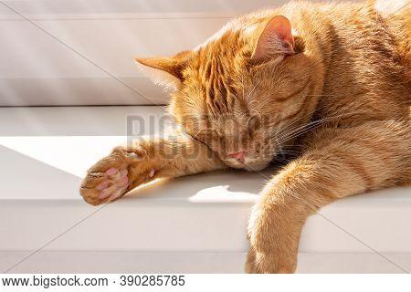 Cute Ginger Cat Sleeping On Windowsill. Beautiful  Fluffy Pet Basking In Sun.