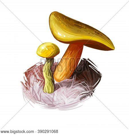 Boletus Auripes, Butter-foot Bolete Digital Art Illustration. Boletaceae Family Vegetable, Veggie Bo