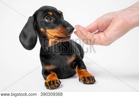 Dachshund Puppy Warily Sniffs Hand Of Human, White Background, Copy Space. Baby Dog Trains Not To Ta